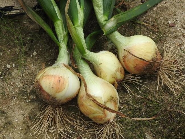 あいちの伝統野菜「知多3号たまねぎ」