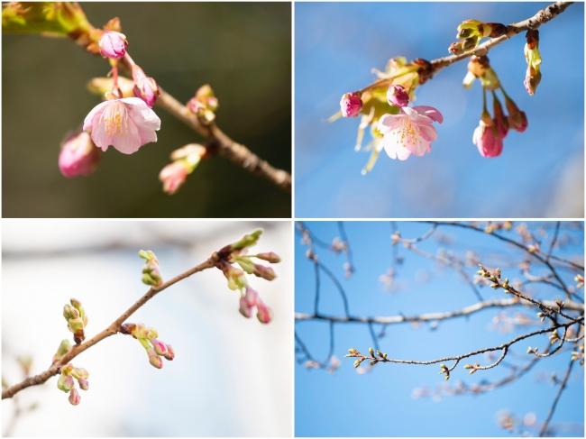 2.12撮影の河津桜