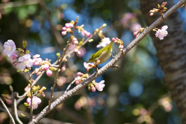 河津桜とメジロ(2月8日撮影)