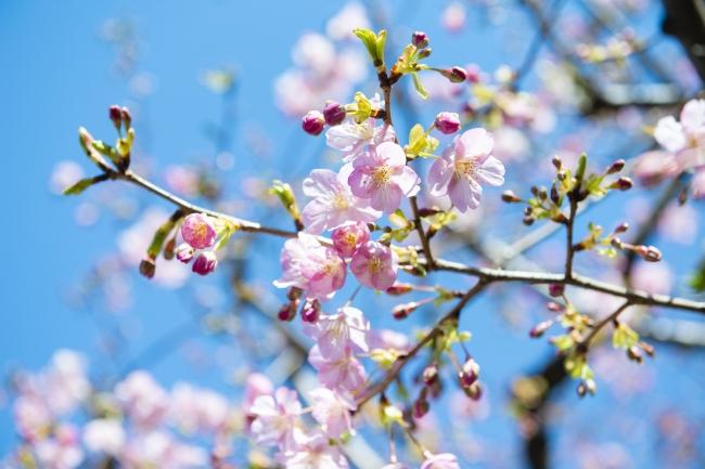 河津桜(2月8日撮影)