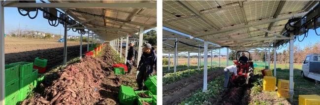 ソーラーシェアリングの農作業風景
