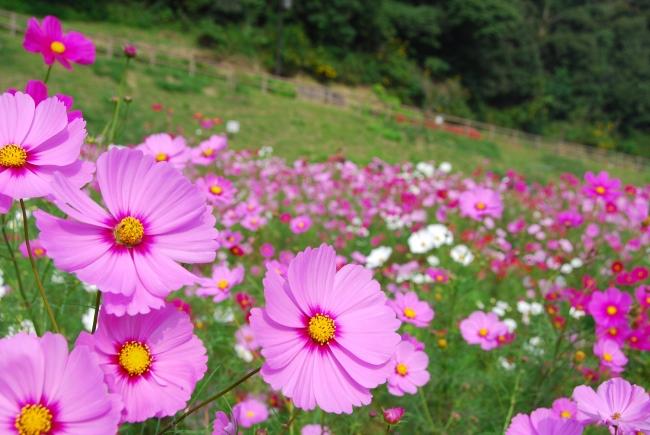 横須賀市くりはま花の国「コスモス」