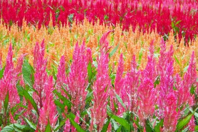 花穂が長くのび「羽毛」の名の通り、ふわふわの姿が楽しめます。