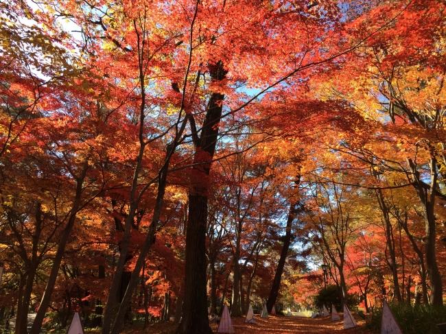 20種約500本の規模を誇る「カエデ園」は例年11月下旬~見頃に(国営武蔵丘陵森林公園)