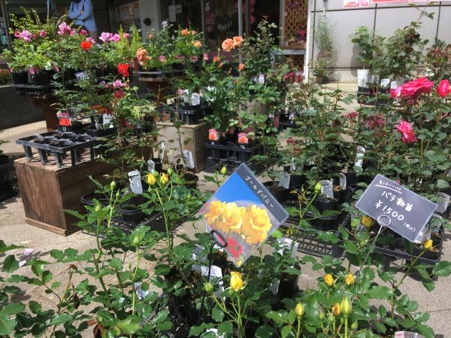 バラ苗の販売(イメージ/春の販売時)