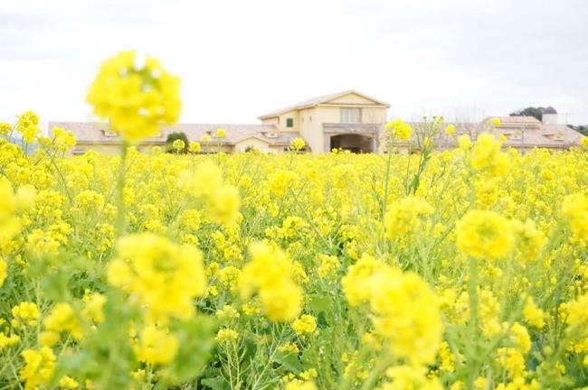 約10万本の「ナノハナ」の花畑