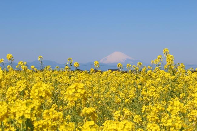 約10万本のナノハナ畑と、相模湾・富士山の美しい景観が楽しめる(横須賀市長井海の手公園 ソレイユの丘)