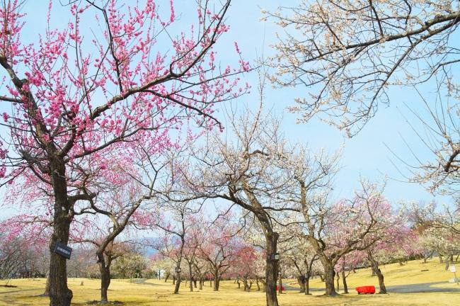 小田原フラワーガーデンの渓流の梅園(2020年2月14日(金)撮影)