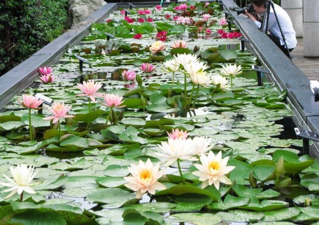 高さ約60cmの「スイレン槽」で花を間近に鑑賞できる