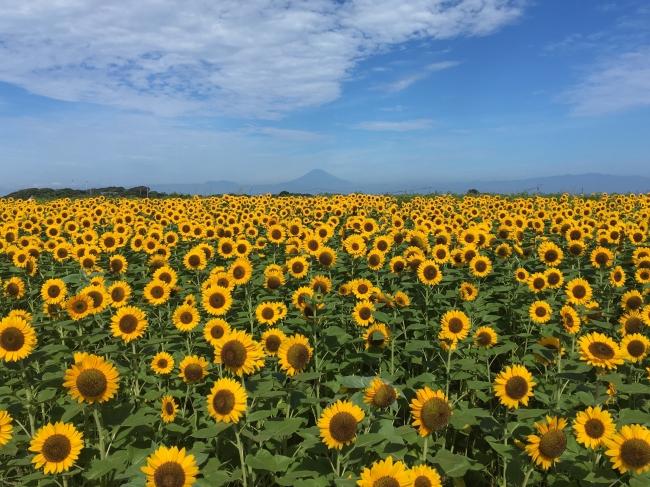 約10万本のヒマワリ畑、天気が良い日には富士山との競演も(横須賀市長井海の手公園 ソレイユの丘)