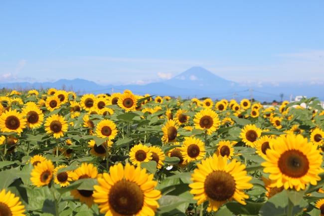富士山をバックに撮れる日も