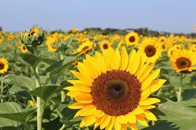 見頃を迎えたヒマワリ花畑(横須賀市長井海の手公園 ソレイユの丘/2020年8月14日撮影)