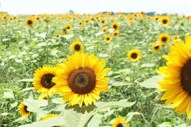 見頃を迎えたヒマワリ花畑(横須賀市長井海の手公園 ソレイユの丘/2020年8月13日撮影)
