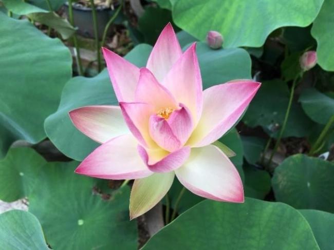 滋賀県内の植物園「草津市立水生植物公園みずの森」の蓮の花