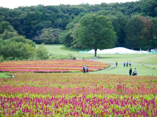 国営武蔵丘陵森林公園「羽毛ゲイトウ」花畑 ※2020年9月15日撮影