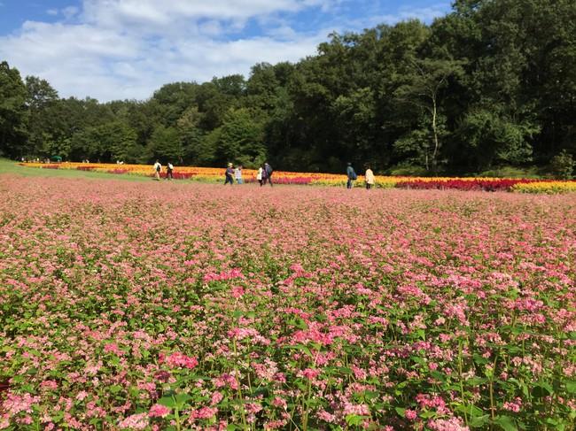 国営武蔵丘陵森林園「赤ソバ」 (過去の見頃の様子)