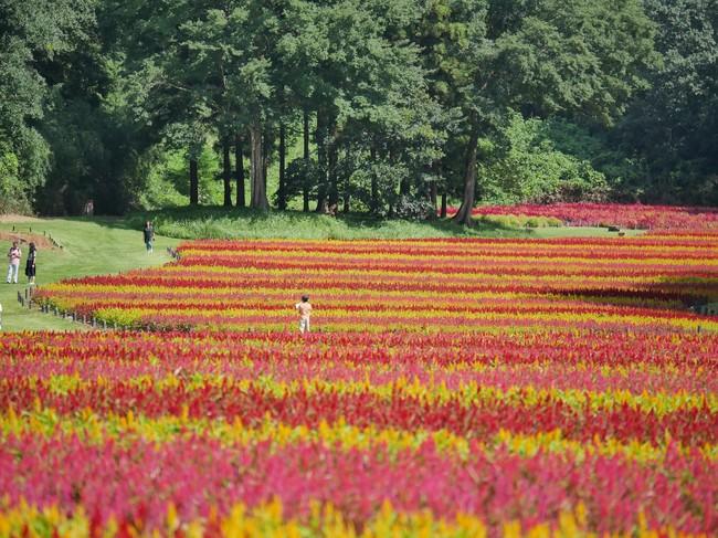 国営武蔵丘陵森林公園「羽毛ゲイトウ」花畑 ※2019年9月15日撮影