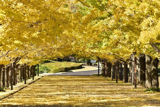 国営昭和記念公園(イチョウ並木)