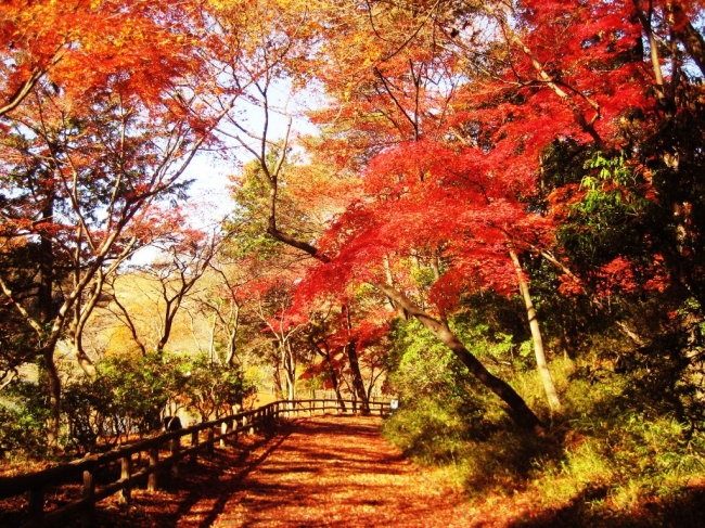 狭山公園 宅部池東園路にあるイロハモミジの紅葉