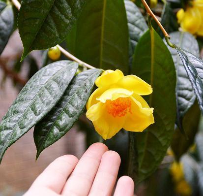 花は直径6cm程度のかわいらしいサイズ
