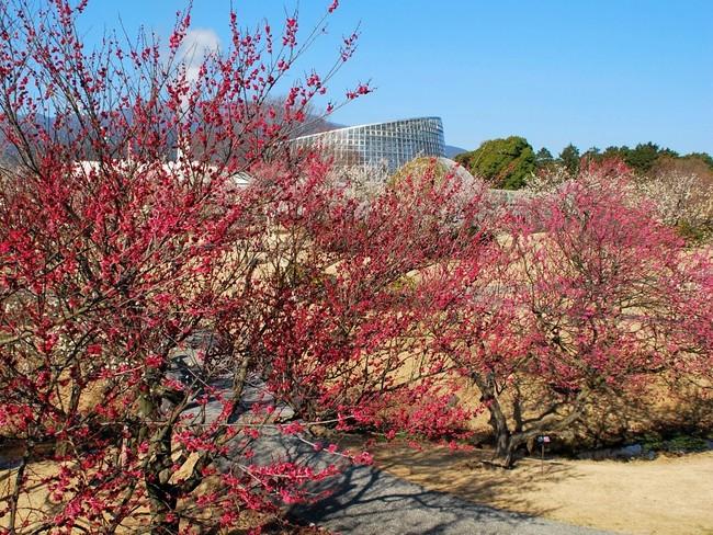 2021年1月下旬~3月上旬までは園内の「渓流の梅園」も見頃を迎える
