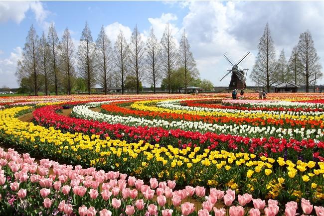 4月中旬には公園内のチューリップ花畑(約16万球)も見頃を迎える見込み