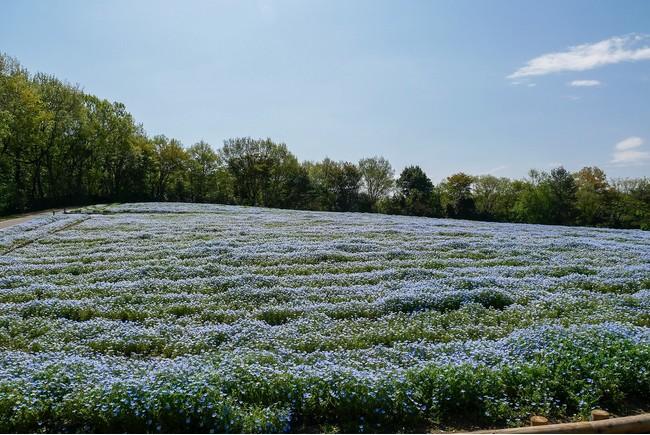 約10万本・5,000㎡のネモフィラ花畑(国営武蔵丘陵森林公園)※2021年4月7日撮影