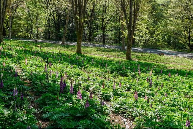 ルピナスは4月下旬頃から見頃の見込み(国営武蔵丘陵森林公園)※2021年4月7日撮影