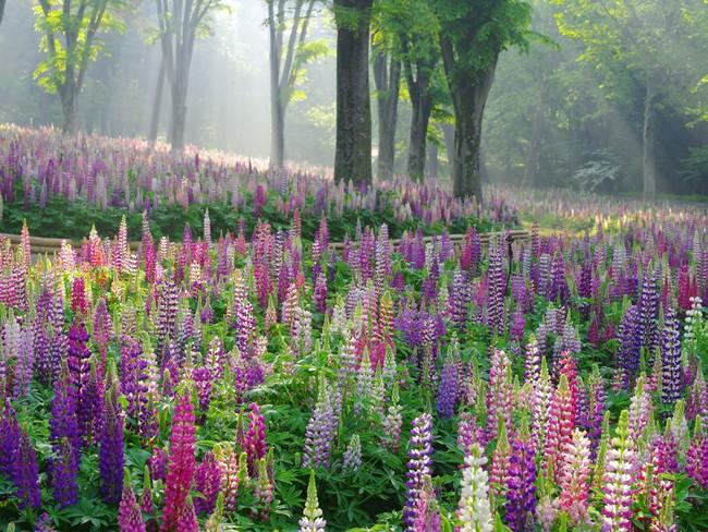 約4万本・2,000平方メートル のルピナス(国営武蔵丘陵森林公園)※2020年の最盛期の様子