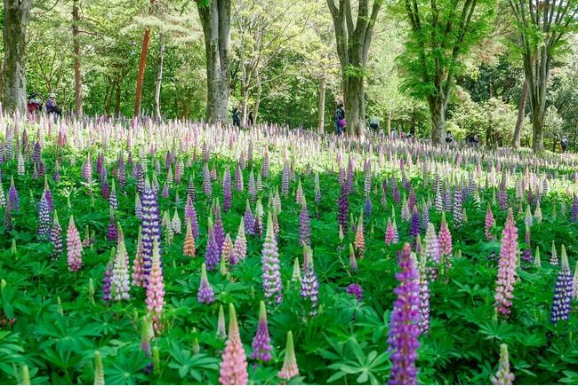約4万本・2,000平方メートル のルピナス(国営武蔵丘陵森林公園)※2021年4月20日撮影