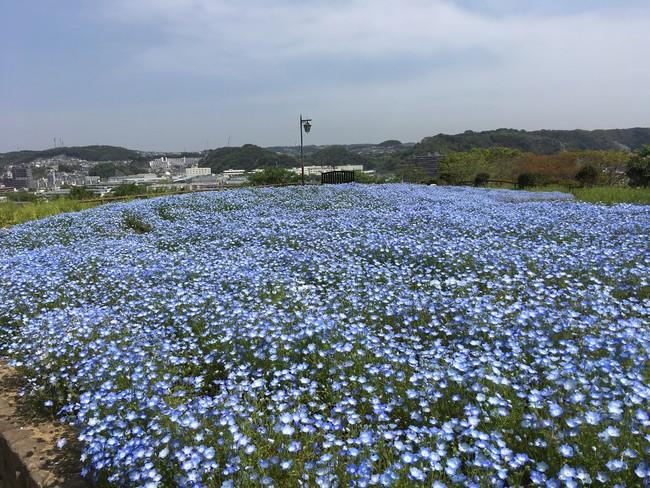 天空のネモフィラ花畑(横須賀市くりはま花の国)