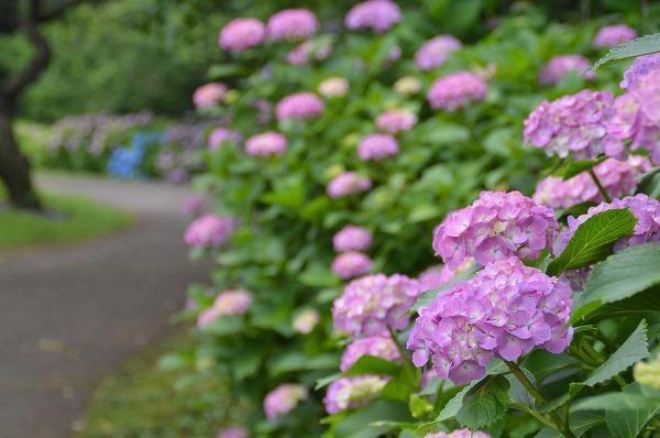紫陽花(小田原フラワーガーデン)
