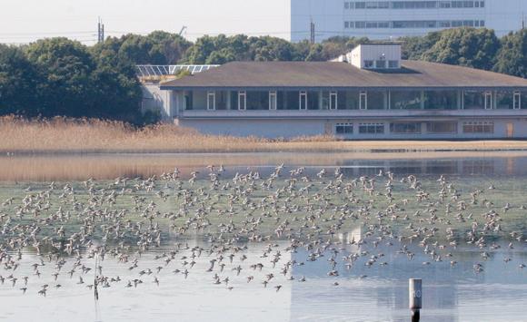 渡り鳥の中継地となる「谷津干潟」は、ラムサール条約登録湿地です