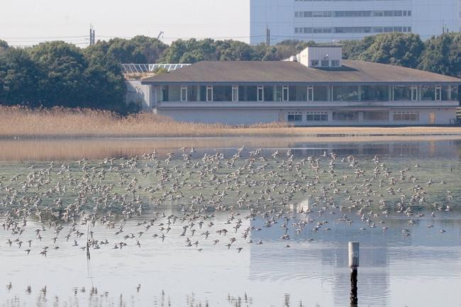 冬のハマシギと自然観察センターと干潟