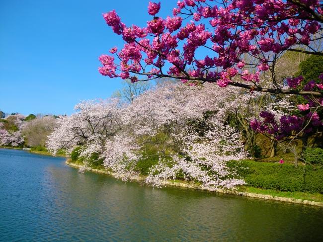「日本のさくら名所100選」に選ばれた三ッ池公園のサクラ