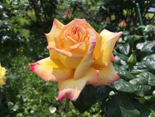 ヴェルニー公園のバラ 2019年5月12日撮影