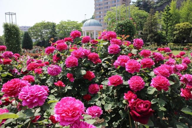 ヴェルニー公園の春バラ