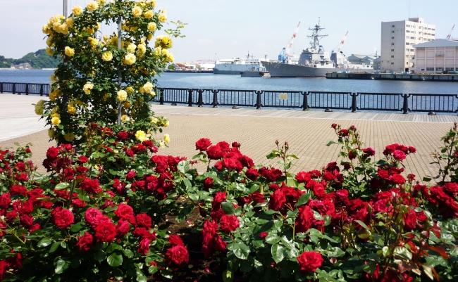 横須賀港とバラを楽しめるヴェルニー公園