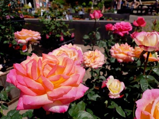 園内でのバラ苗販売