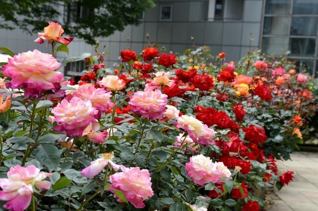 小田原フラワーガーデンのバラ 2019年5月12日撮影