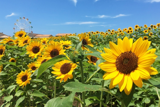 ヒマワリ花畑(横須賀市長井海の手公園 ソレイユの丘)