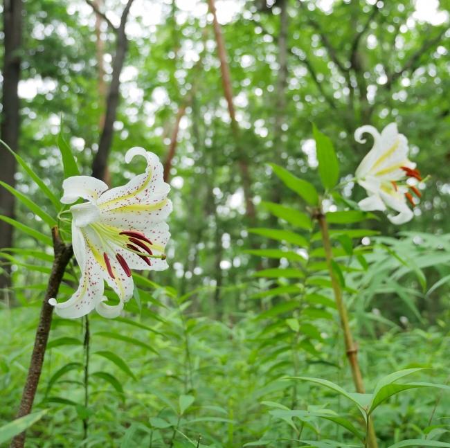 国営武蔵丘陵森林公園の「ヤマユリ」(2019年7月6日撮影)