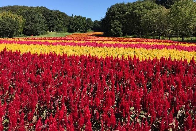 8月下旬~10月中旬にかけて見頃となる「ケイトウ」(国営武蔵丘陵森林公園)