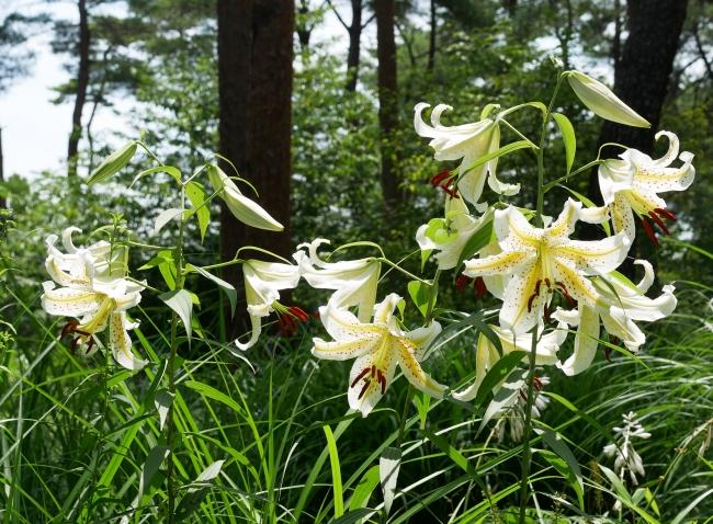 国営武蔵丘陵森林公園の「ヤマユリ」