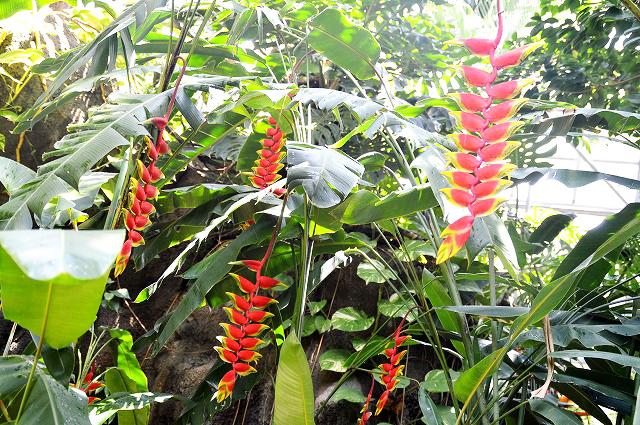 鮮やかな熱帯植物「ヘリコニア・ロストラータ」