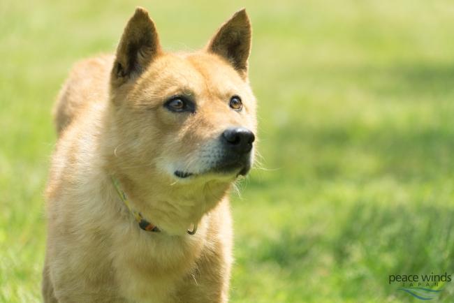 殺処分寸前で救われて、災害救助犬(レスキュードッグ)になった夢之丞