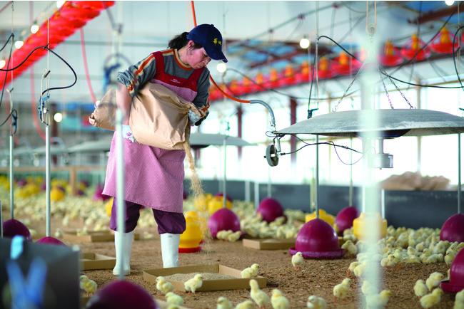 開放鶏舎で大切に育てられている華味鳥