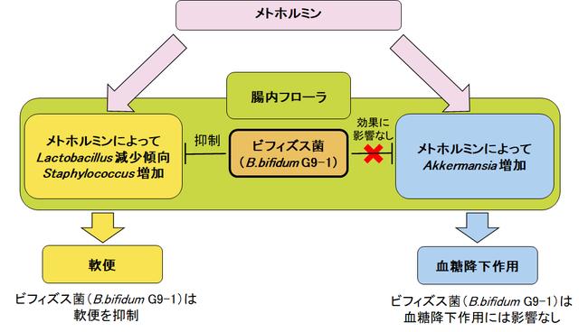 図 メトホルミンの作用に対するビフィズス菌(B.bifidum G9-1)の影響