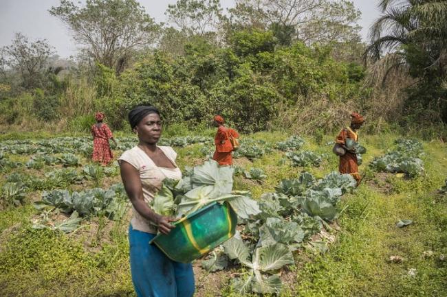 シエラレオネ・カバラでキャベツを栽培する農家。