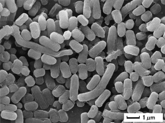 Lactobacillus plantarum L-137